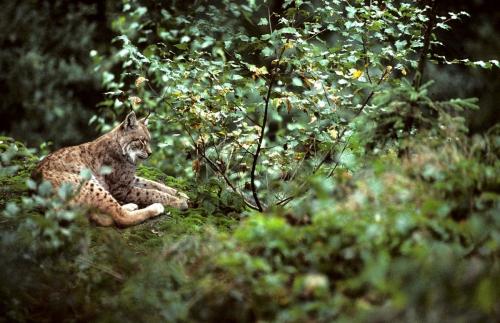 Lynx_©-Maurice-Chatelain1.jpg